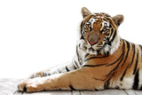 bengal tiger white background