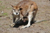 Mother wallaby with joey watching the photographer