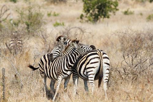 Poster Mother Daughter Plains Zebra