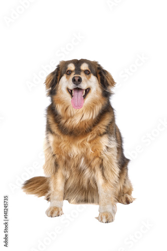 Poster Sitting dog on a white background