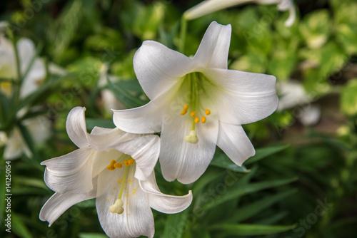 zbliżenie dwóch białych lilii wielkanocnych w rozkwicie na wiosnę w świetle dziennym