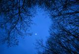 Dark birch wood at night in early spring