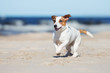 jack russell terrier dog on a beach