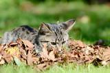 Kitten lying on the meadow in the leaves