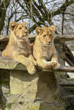 Two lion cubs lie on a rock