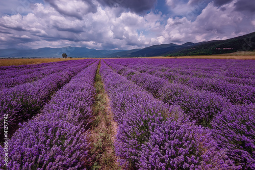 Daily cloudy landscape with lavender in the summer at the end of June. Contrasting colors, beautiful clouds, dramatic sky. © djevelekova