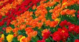 Colorful Nature Background of Tulips Flowers