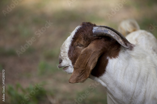 Large billy goat profile. Poster