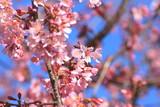 咲き始めのオカメザクラ