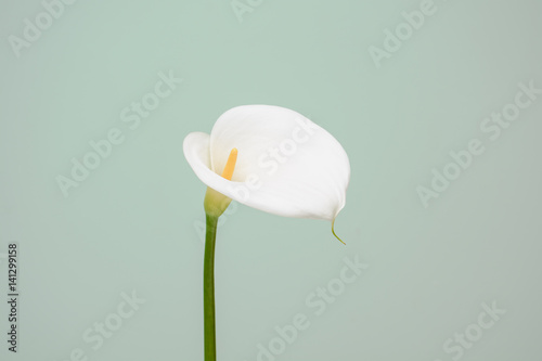 elegant full blooming Calla Lily indoor photo Poster