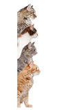 Cats of different breeds looking to the side standing behind the blank board - 141301704