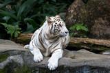 Fototapety seltener weißer Tiger