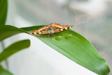 Butterfly sitting on a long green leaf with drops of dew near the window glass, selective focus