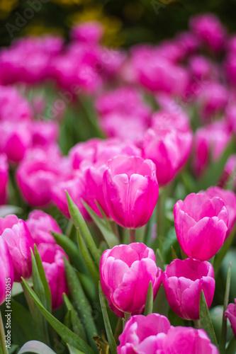 Plexiglas Roze all tulips in the garden.