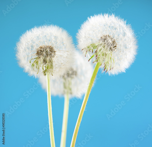 Dandelion flower on sky background. Object isolated on blue. Spring concept.