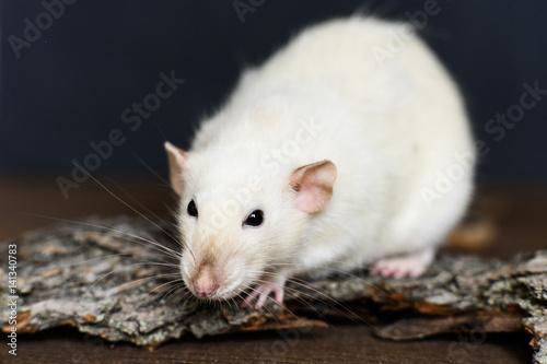 White fancy rat sitting on wood on dark background Poster