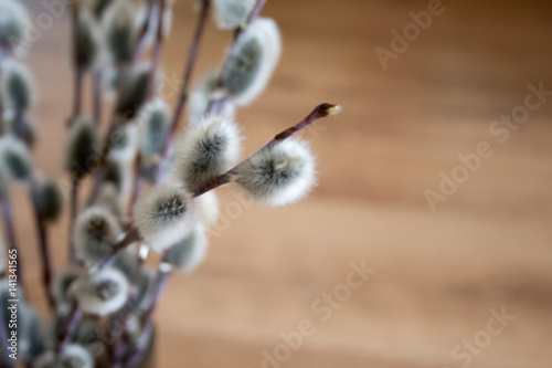 pussy willow branch close-up, blurry wooden background, spring mood