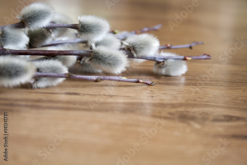 pussy willow on a medium light wooden background, top view, springtime background, empty copyspace