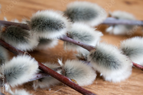 pussy willow branch close-up, on medium color wooden background, side view, spring mood