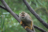 Cute Squirrel Monkey Clinging To a Tree Branch