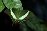 This butterfly its name Papilio Palinurus