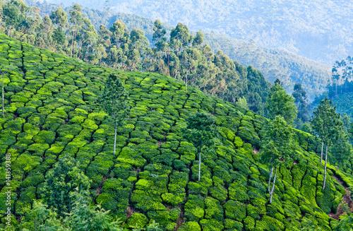 Fototapeta Tea plantations in Munnar, Kerala, India