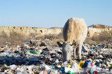 Two cows eating food on a garbage dump