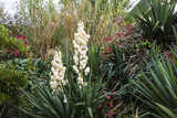 yucca in bloom, autumn,france
