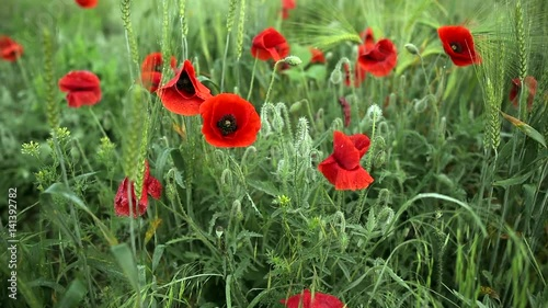 Flowers of red poppy in the wind in the wild field with green grass and wheat. Smooth horizontal panning. Slow hirizontal movement in the footage