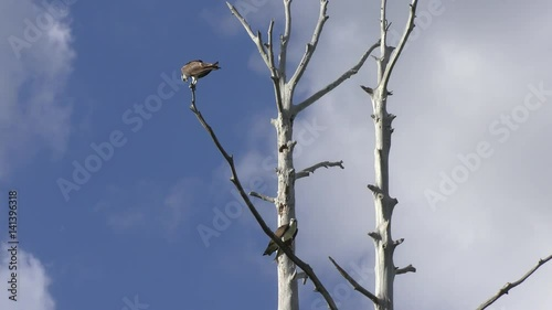 two ospreys on a tree in Florida wetlands