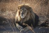Lion - the majestic creature