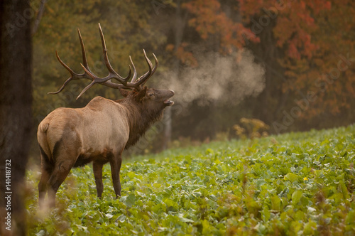 Bull elk bugling in fall with breath showing.