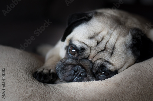 Poster Thoughtful Pug