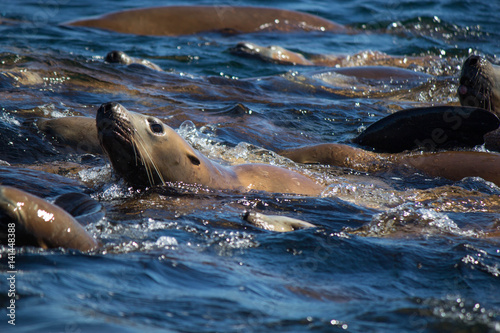 Stellar Sea Lion Swimming Poster