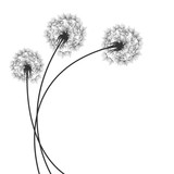 Fototapeta Dmuchawce - Background with Dandelions © vectorace