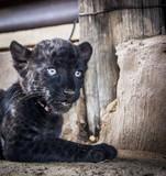 Leopard cub - cuteness