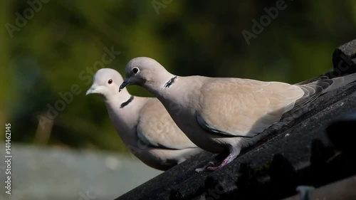 The ring-necked dove, also known as the Cape turtle dove or half-collared dove, is a widespread and often abundant dove species in East and southern Africa.