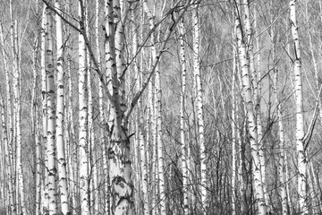 birch forest, black-white photo