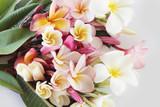 Beautiful plumeria flower on white background