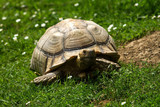 photo of a Spur-thighed Tortoise walking in the sunshine