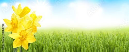Frühlingswiese mit Osterglocken - 141478736