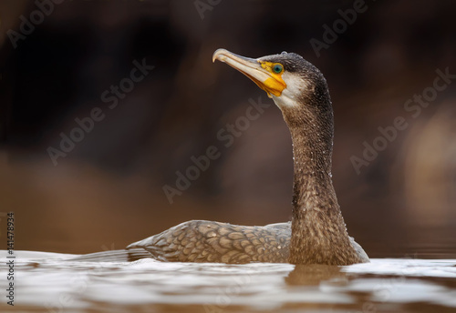Poster Great cormorant swimming in the river