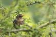 Blackbird (turdus merula) female singing in a tree