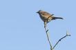Dunnock Prunella modularis bird singing