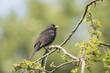 Blackbird (turdus merula) singing in a tree