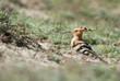 Hoopoe (Upupa epops) in the field, Kalmykia, Russia