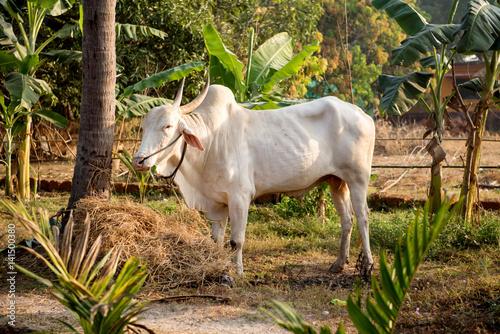 White bull in India