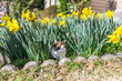 Calico cat hiding in daffodil flowers for hunting