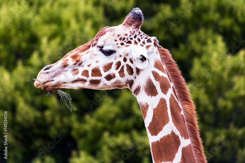 Profile of a Giraffe Eating a Twig with Trees in the Background Poster