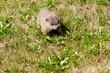 Groundhog eating weeds